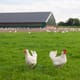 Serious Disease Outbreaks Cause Rise in Antibiotic Use on Danish Poultry Farms thumbnail image