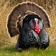 Global turkey meat market: Key findings and insights thumbnail image