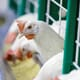 Room to breathe: California voters to decide whether hens, pigs and calves get more space thumbnail image