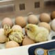 Investing in innovation in Canada's egg industry thumbnail image