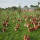 "RSPCA must ""step up to the plate"" to help free range producers meet new perching rules, says BFREPA thumbnail image"