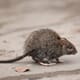 Mixed outlook for practical rat control from farmers thumbnail image