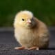 Keeping an eye on poultry health: introducing the UK's new Chief Veterinary Officer thumbnail image