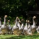 French foie gras makers say they are ready if bird flu returns thumbnail image