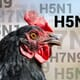 H5N2 low pathogenic avian influenza confirmed in Kandiyohi County commercial turkey flock thumbnail image