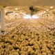 Egyptian government to adopt law banning live poultry distribution thumbnail image