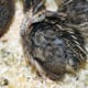 Dietary grape seed improves welfare and performance of heat-stressed Japanese quail thumbnail image