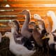 US Supreme Court rejects challenge to California foie gras ban thumbnail image