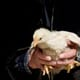 Global fast food companies in the crosshairs for substandard animal welfare thumbnail image