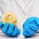 Scientists make gene-edited chickens in bid to halt next pandemic thumbnail image
