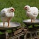 Poultry producers seek payment by weight, not by classification thumbnail image
