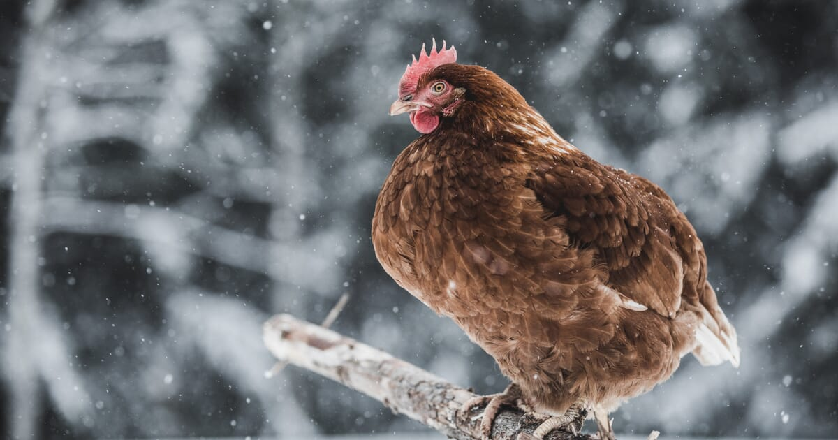 How to keep your chickens warm in winter | The Poultry Site
