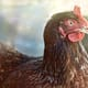 Poultry Quarterly: China and trade restrictions key drivers for an improving but volatile global outlook thumbnail image
