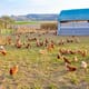 Welsh poultry farms using less antibiotics thumbnail image