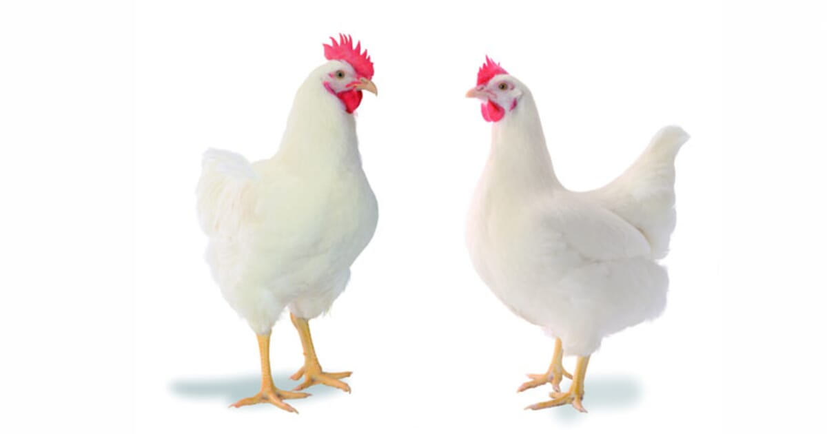 Image result for POULTRY