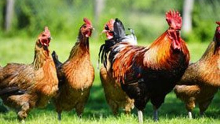 Bird flu outbreaks in Victoria, Australia impact free-range, caged and barn laid layer farms thumbnail image