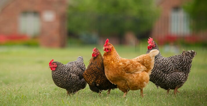 Be aware of local community ordinances when raising backyard chicken flocks. (Photo by Todd Johnson, OSU Agricultural Communications Services)