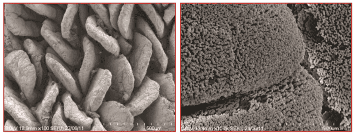 Electron micrograph of villi (left) and microvilli (right) of the small intestine.