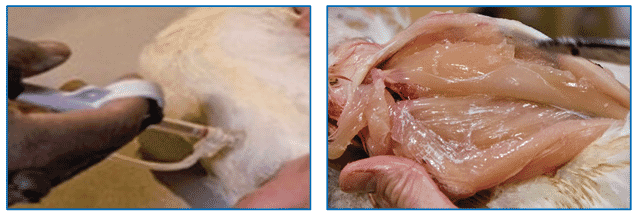 Figure 5: Correct IM vaccination of the breast muscle (injection does not reach the pectoralis minor/tender). The photo on the right is of postmortem evaluation and is shown to demonstrate that correct IM vaccination does not reach the pectoralis minor.