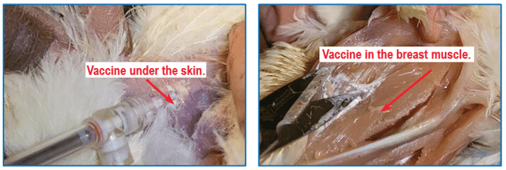 Figure 6: Visualization of SQ vaccination under the skin (left) and in the breast muscle (IM) (right). The photo on the right is of post- mortem evaluation and is shown to demonstrate correct IM vaccination into the breast muscle.