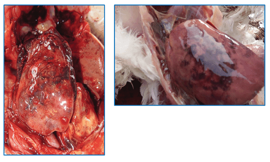 Figure 7: Swollen liver with mottled and hemorrhagic surface.