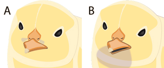 (A) Chicks breathing through the nostrils will lose around 2 grams per 24 hours (B) Chicks gasping through their beaks can lose 10 grams of moisture in 24 hours