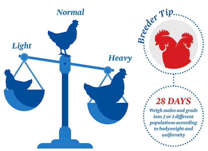 Flock management tip for breeders: Why grade males at 28 days?   The