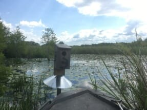 In the early 1980s, South Carolina Department of Natural Resources began a highly successful statewide program for wood duck boxes such as the one pictured here.