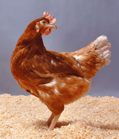 Gene insights could help breed chickens resistant to Campylobacter