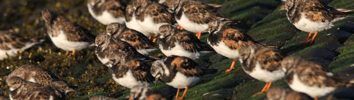 By studying ducks, Becky Poulson has learned that avian influenza viruses can stay alive and infectious outside their hosts for as long as seven months. Now she's working with migratory shorebirds like these ruddy turnstones to determine the impact of live virus deposited through the birds' droppings as they move about the Eastern seaboard.