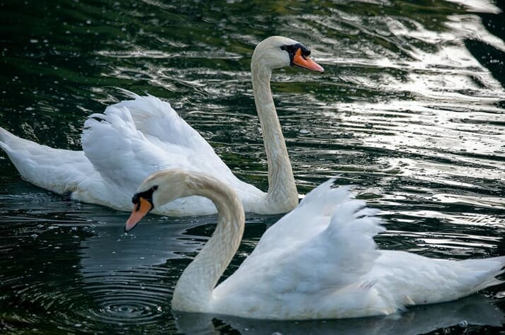 Mute swans were among the species affected by bird flu in 2016/17.