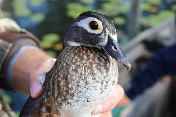 Wood ducks comprise about 10 percent of the annual duck harvest in the United States. Wood ducks are second, only to mallards, in total harvest in the Atlantic and Mississippi flyways in 25 of the past 30 years.