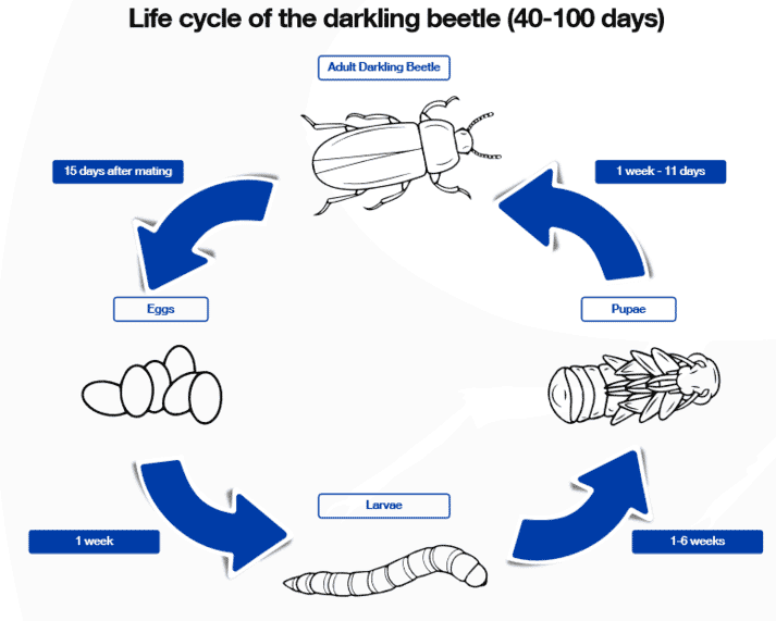Life cycle of a darkling beetle