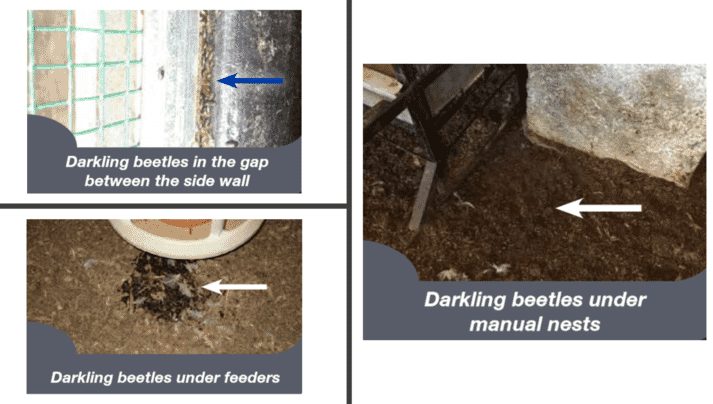 Common locations for darkling beetles