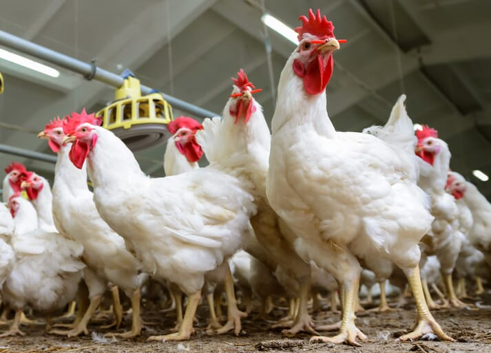 broiler breeder chickens standing in a shed