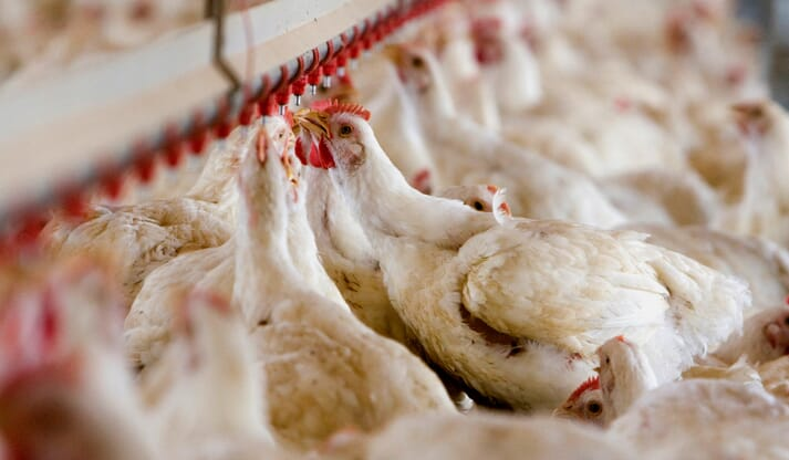 broiler chickens drinking water out of an overhead drip system