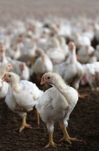 A study from Aarhus University shows that even relatively minor impairment of walking ability in broiler chickens is associated with behavioural changes, such as increased inactivity, less mobility and higher occurrence of abnormal behaviour than chickens with normal gait. Photo: Colourbox.