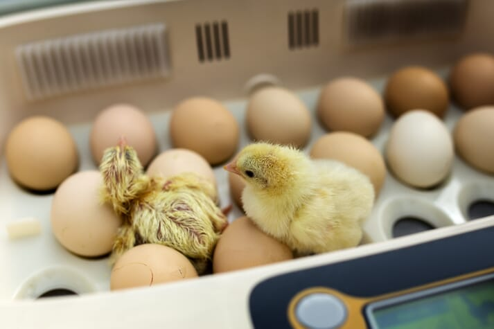 Be sure to source chicks from hatcheries with high welfare and biosecurity standards