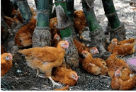 Why free-range is booming in the Philippines | The Poultry Site