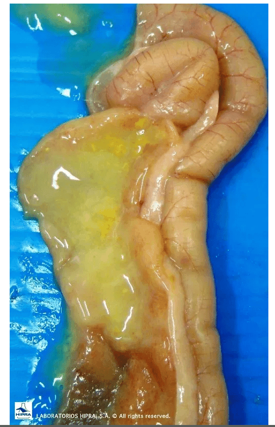 E. praecox in the duodenum: A type of coccidiosis that is not clinical but causes a decrease in growth and feed conversion.
