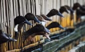 Itik or native mallards at a Kamalig or duck poultry barn in Laguna. thumbnail