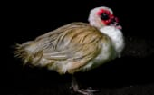 Almost as common and widespread is the larger Muscovy duck (Cairina moschata), imported from South America by Spanish colonizers and raised for meat. Adults can reach seven kilogrammes.  thumbnail