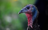 Female turkeys, or hens, have less-developed snoods and less-impressive tail feathers. They are, however, prolific layers, laying around 40 eggs yearly. There should be about 15 to 20 hens for every tom to ensure continuous breeding and laying thumbnail