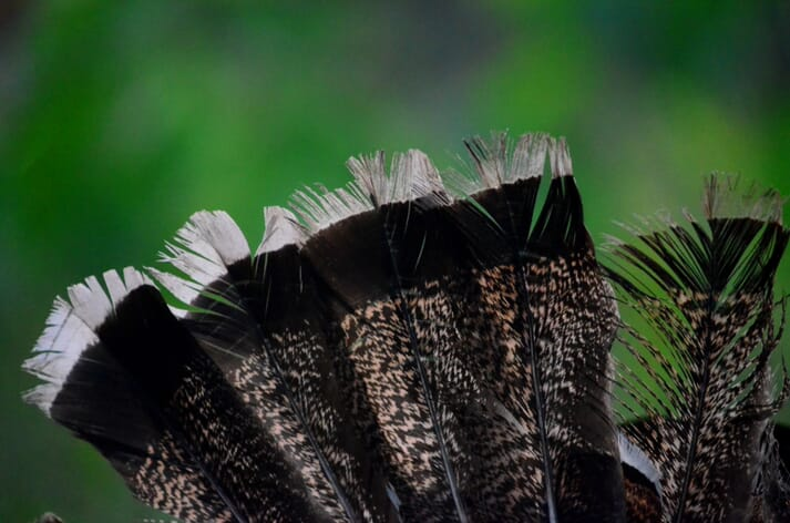 black feathers with white tips