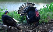 A turkey tom struts, flexes his bod and shows off to a female – typical male behaviour, regardless of species! thumbnail