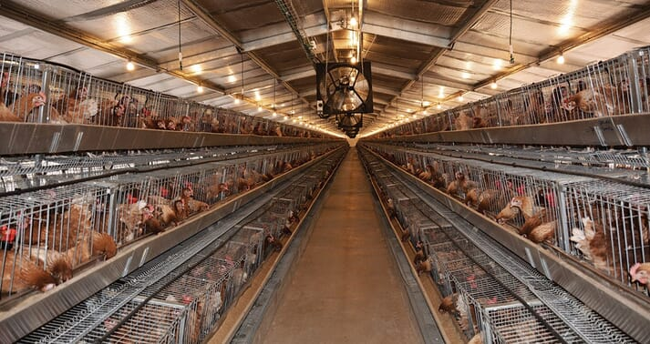An egg shed in Africa, showing a barn full of caged laying hens
