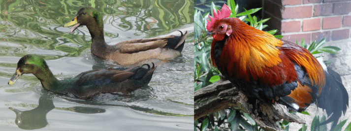 Ducks love to swim, chickens love to perch
