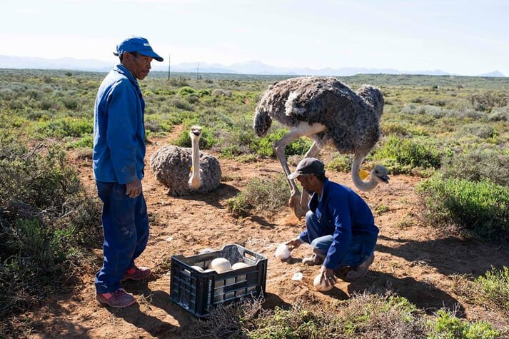 Farmers collect ostrich eggs from a field