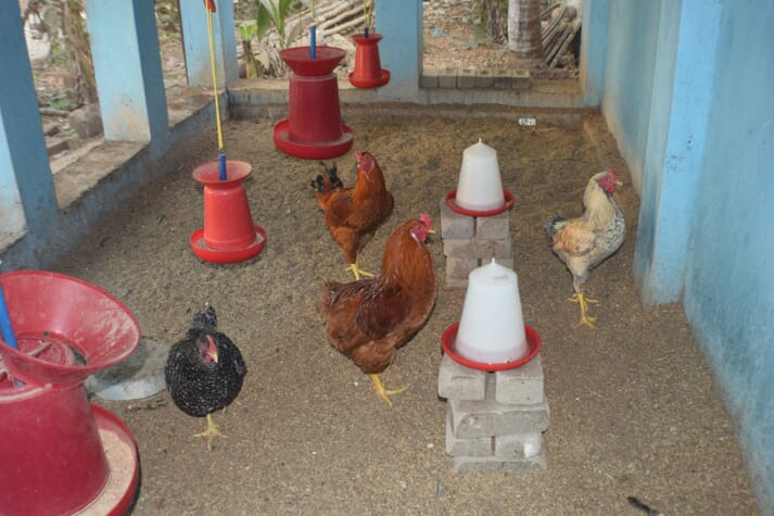 black, rusty, and sand coloured chickens standing in a sheltered area