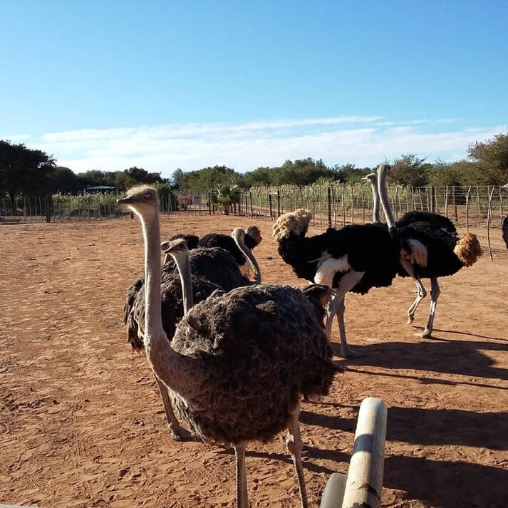 An ostrich pen at the South Africa Ostrich Farm.